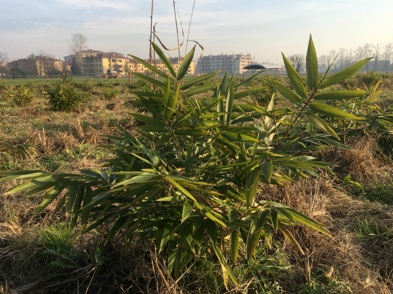 Mercato bamb in italia coltivazione e business for Bamboo coltivazione