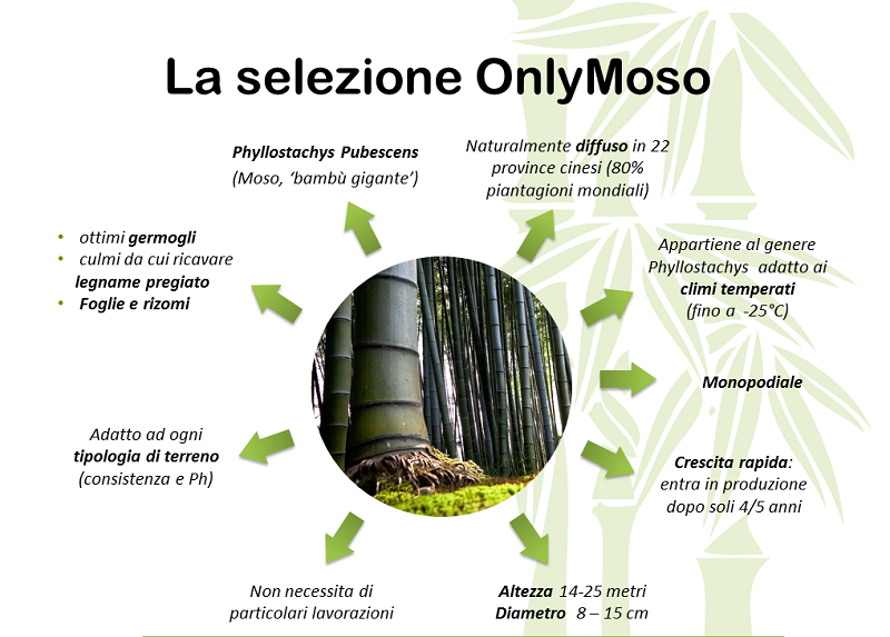 bamboo onlymoso