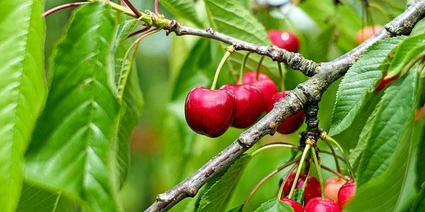 ciliegie proprietà curative e controindicazioni